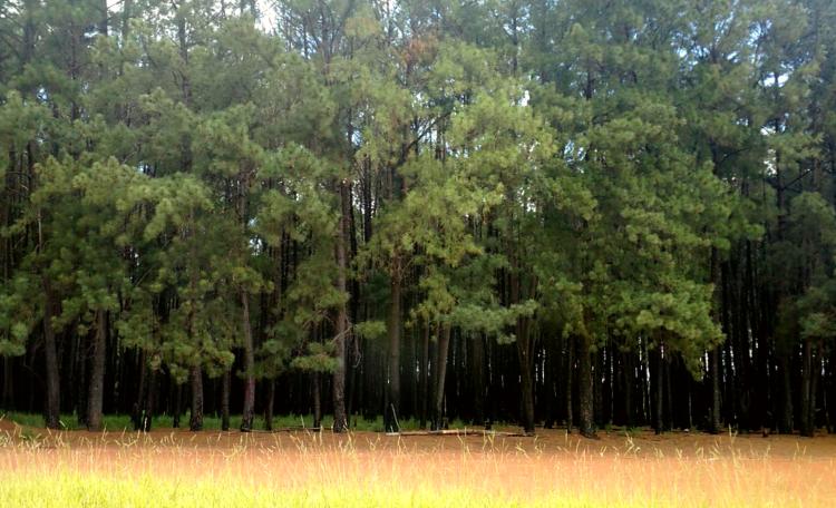 cipestres